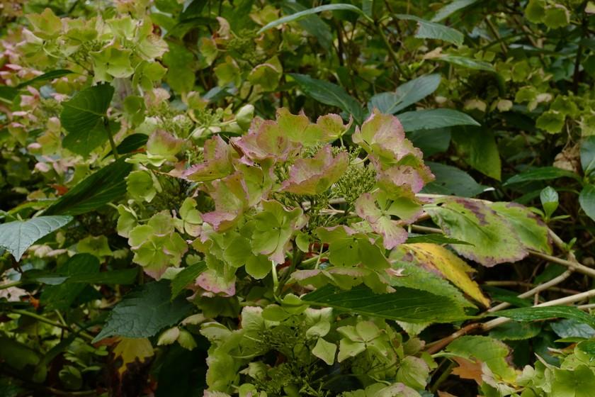 Hydrangea macrophylla 'Stourton Lace'
