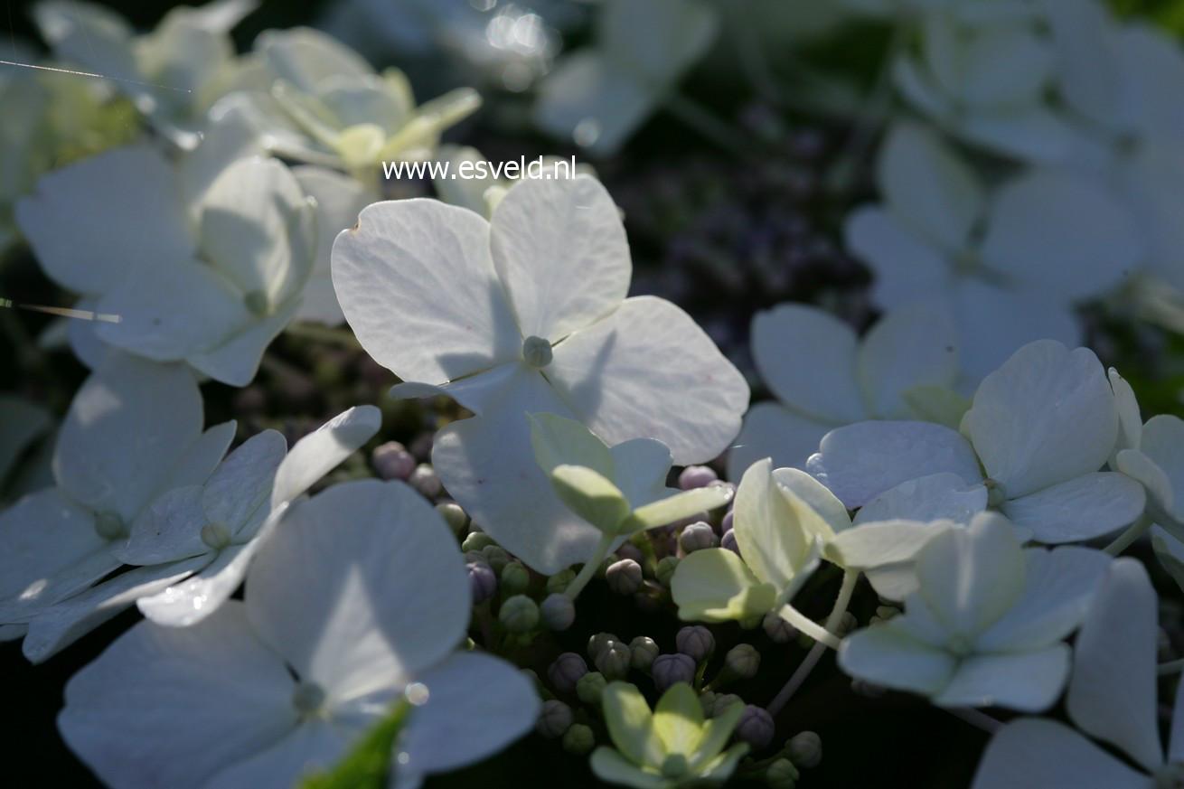 Hydrangea macrophylla 'Trophy'