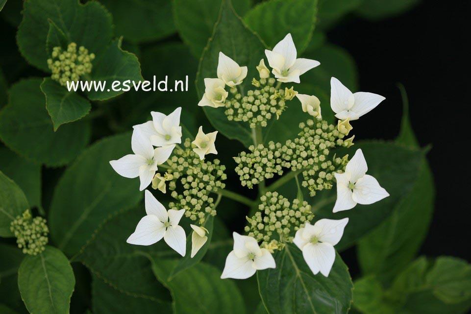 Hydrangea macrophylla 'Veitchii'