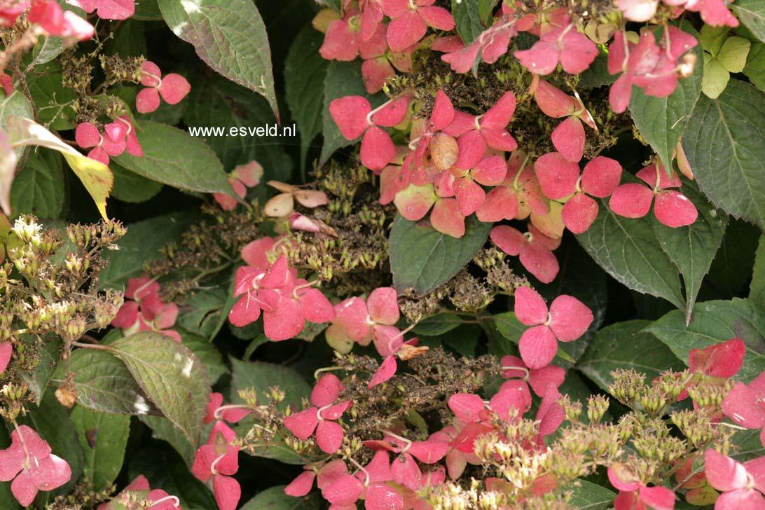 Hydrangea serrata 'Beni-yama'
