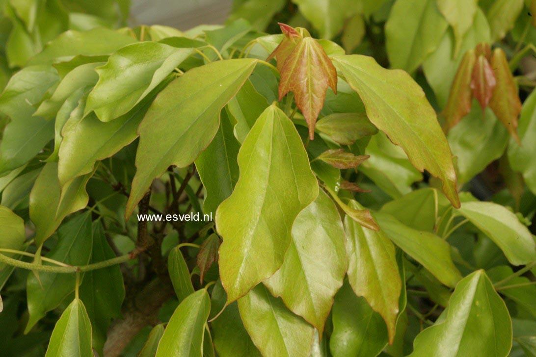 Acer buergerianum 'Nokoribo'