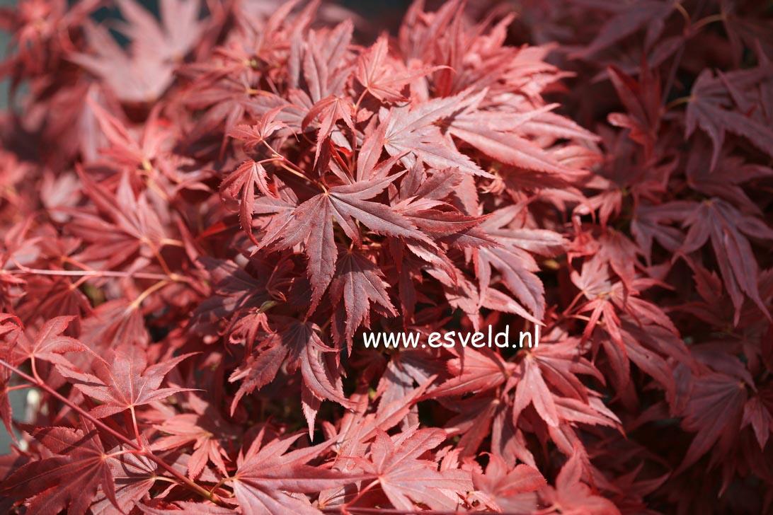 Acer palmatum 'Aratama'