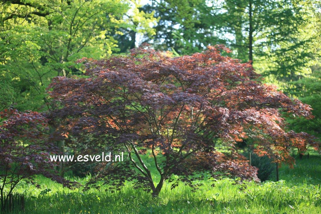 Acer palmatum 'Burgundy Lace'