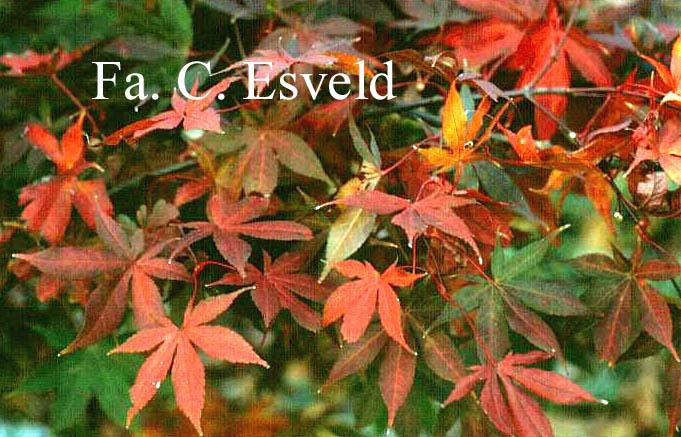 Acer palmatum 'Ichigyo-Ji'