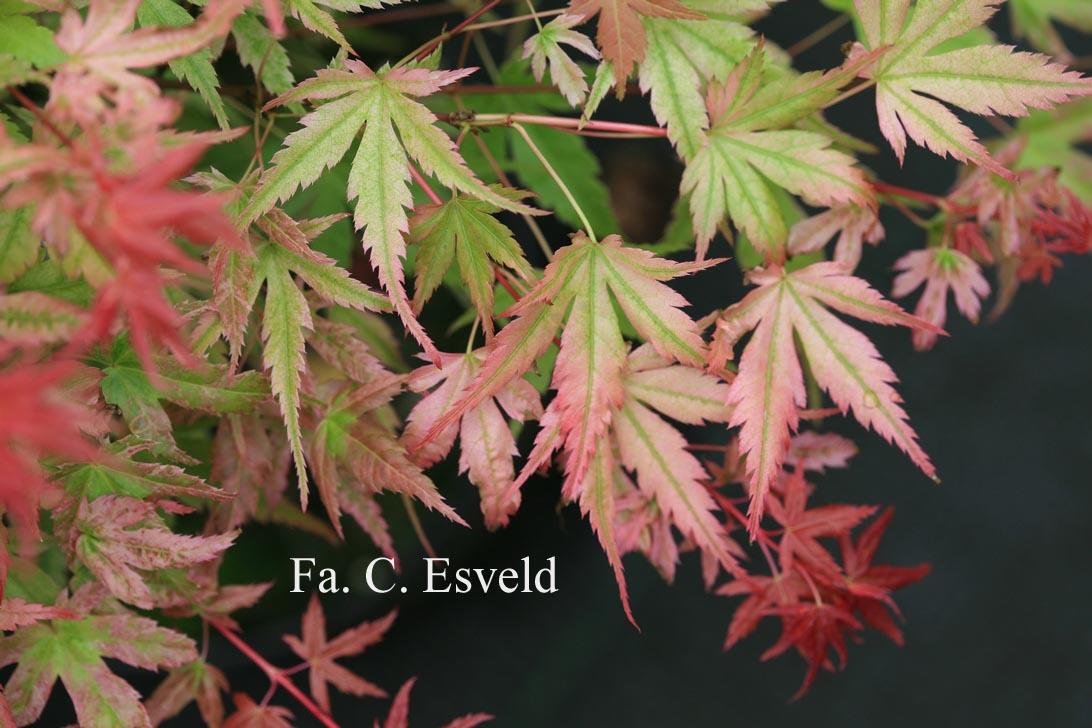 Acer palmatum 'Johnnie's Pink'