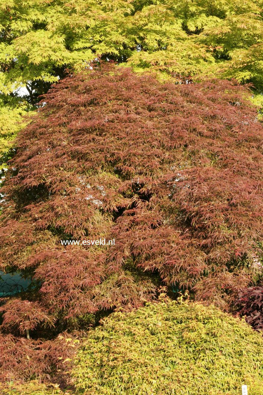 Acer palmatum 'Julian'