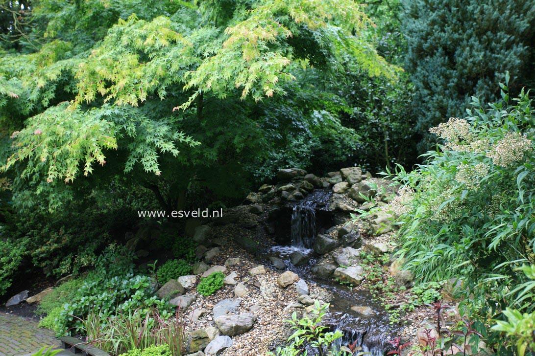 Acer palmatum 'Mure-hibari'