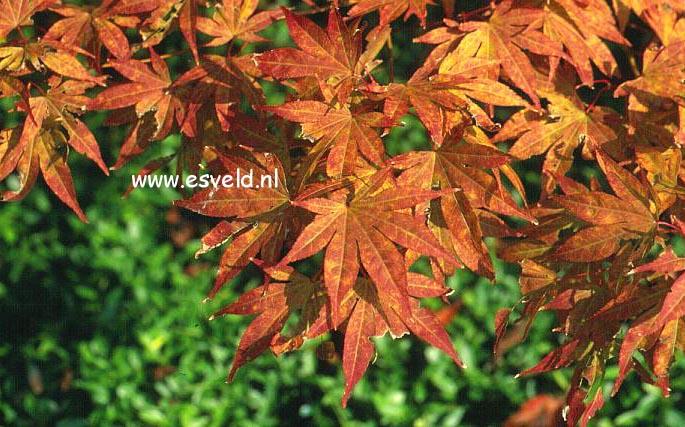 Acer palmatum 'Ōgon-sarasa'