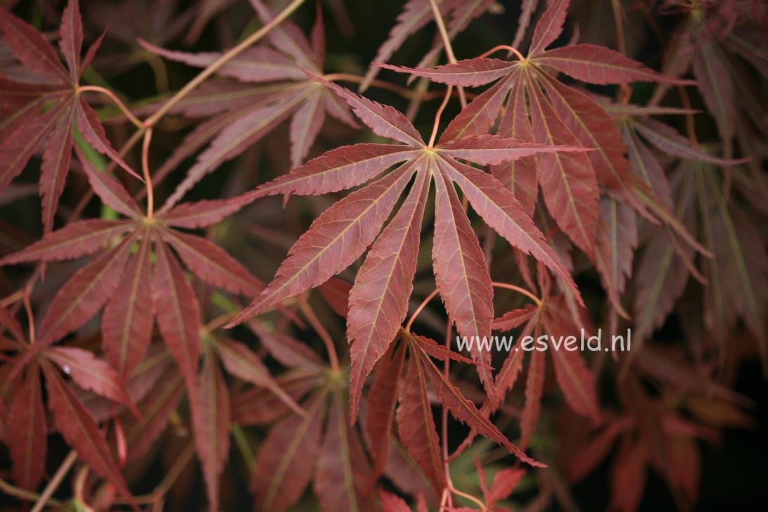 Acer palmatum 'Shinonome'