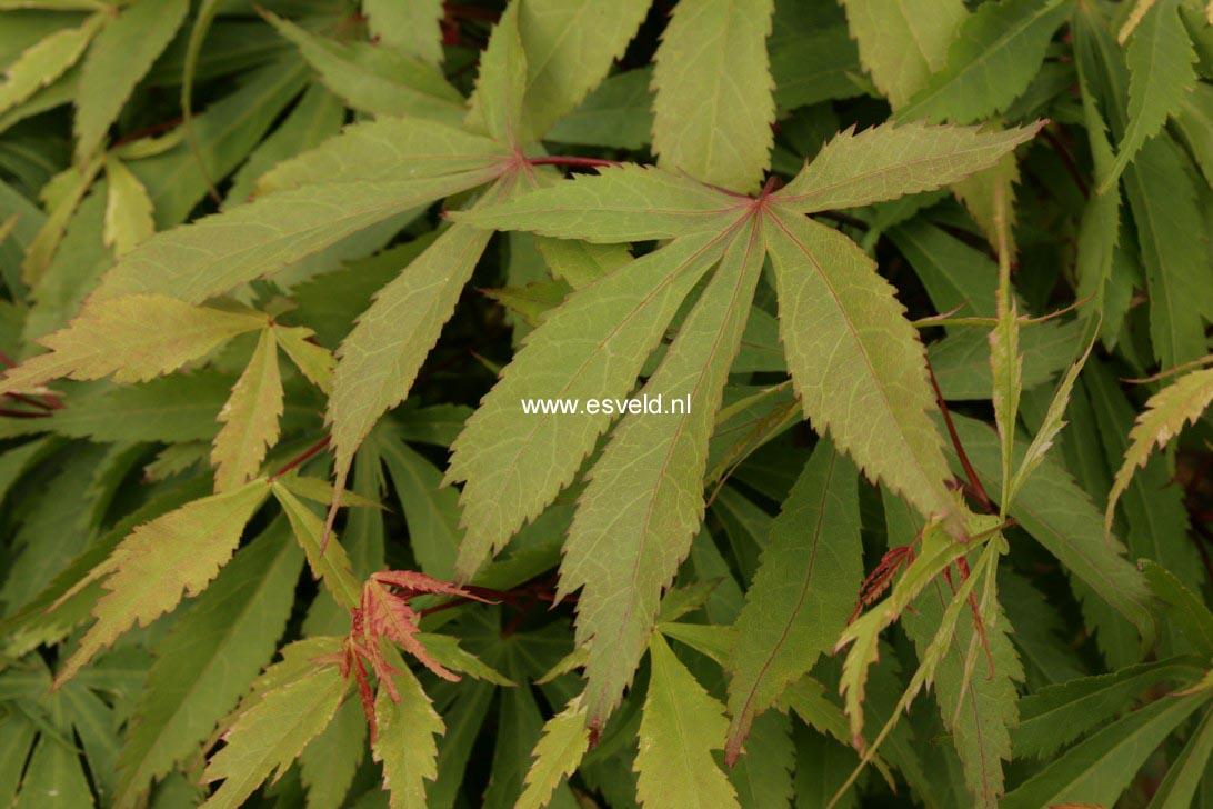 Acer palmatum 'Wakehurst Pink'