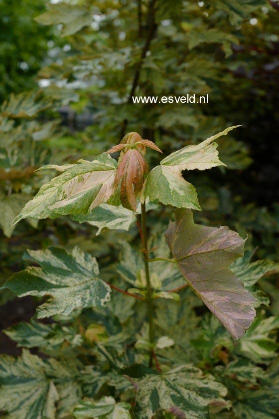 Acer pseudoplatanus 'Prince Camille de Rohan'