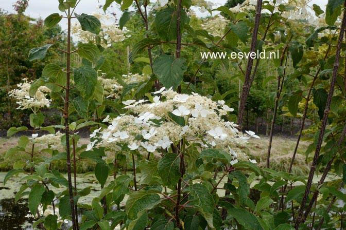 Hydrangea heteromalla 'Kalmthout'