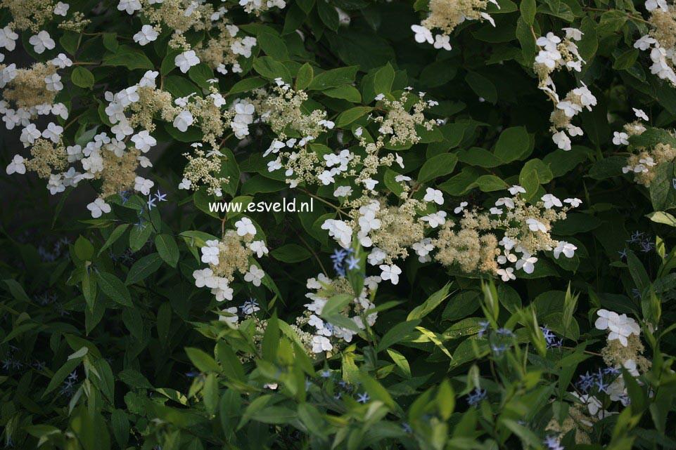 Hydrangea heteromalla 'Morrey's Form'