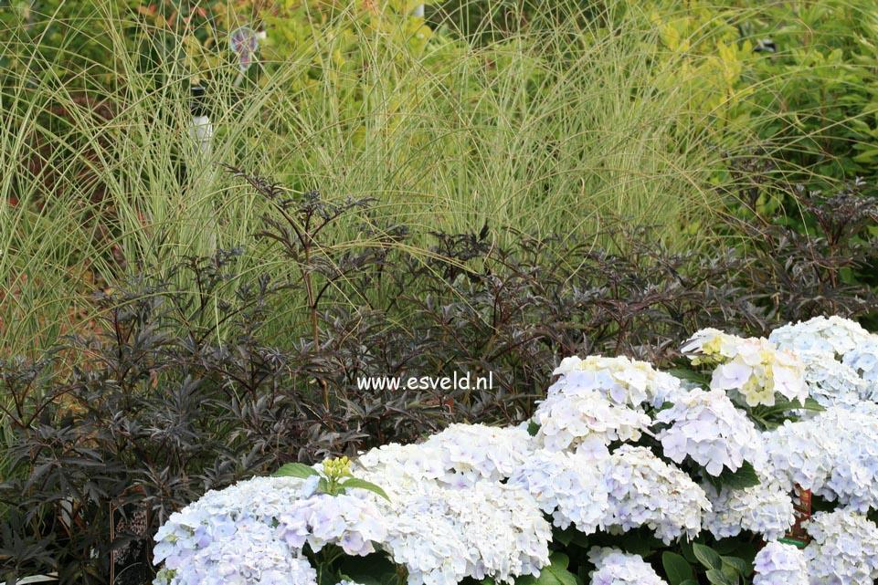 Hydrangea macrophylla 'Homigo' (HOVARIA)