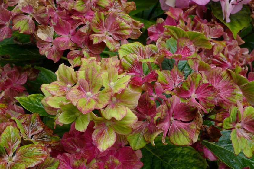 Hydrangea macrophylla 'Horwack' (SCHLOSS WACKERBARTH SAXON)