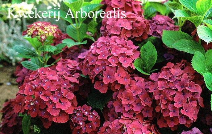 Hydrangea macrophylla 'Mme. G.J. Bier'