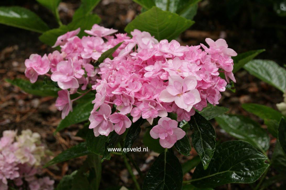 Hydrangea macrophylla 'Youmetwo' (ETERNITY)