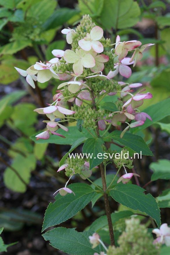 Hydrangea paniculata 'Mid Late Summer'