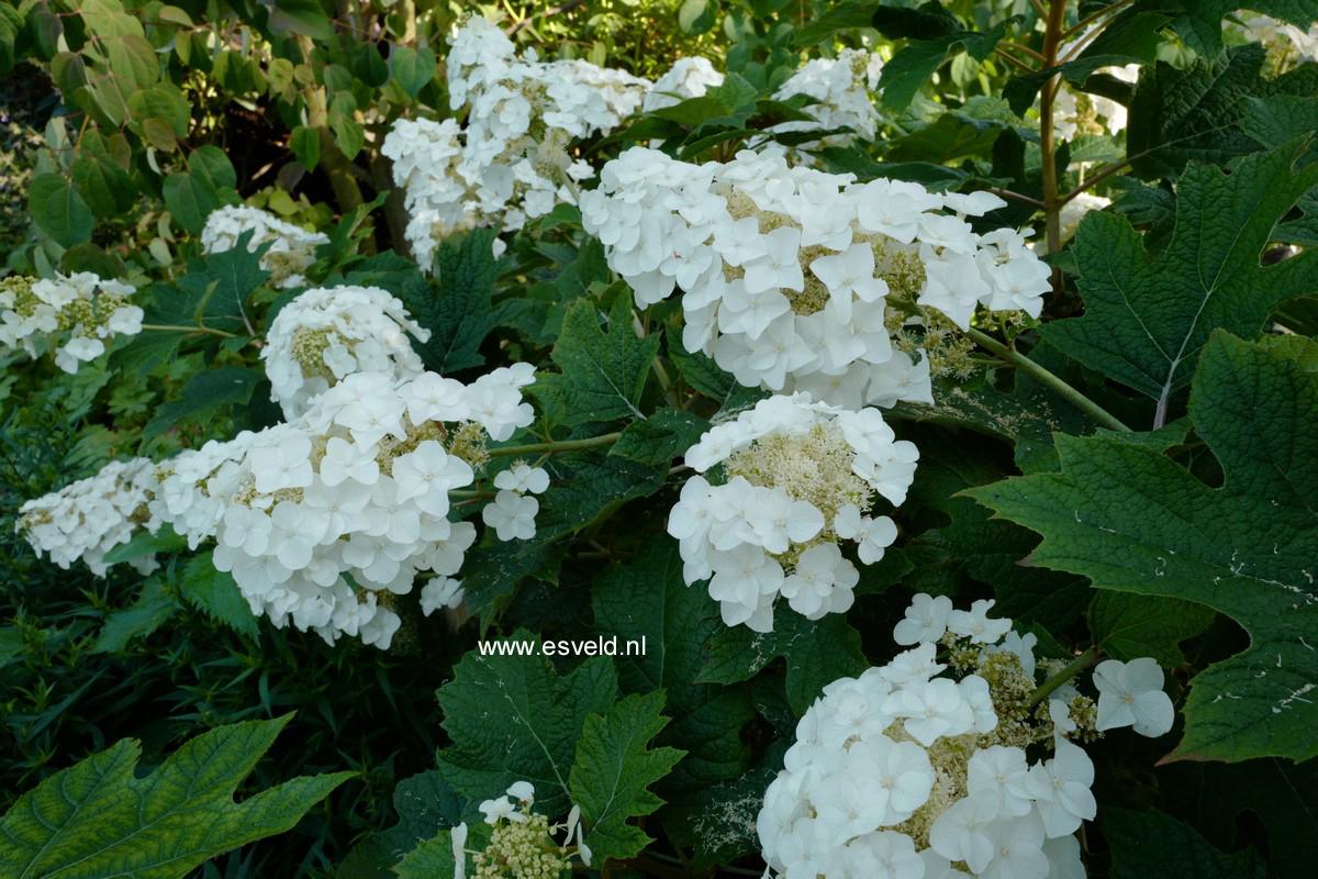 Hydrangea quercifolia 'Burgundy'