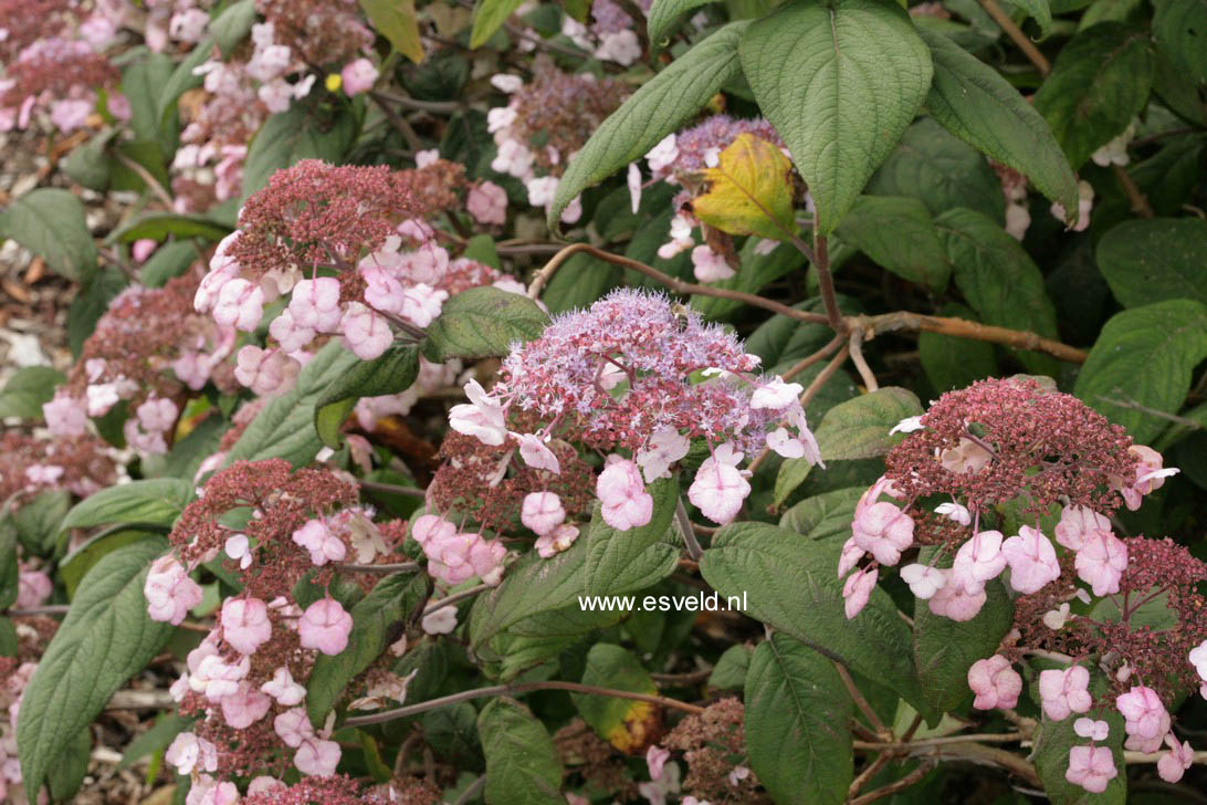 Hydrangea villosa 'Mauvette'