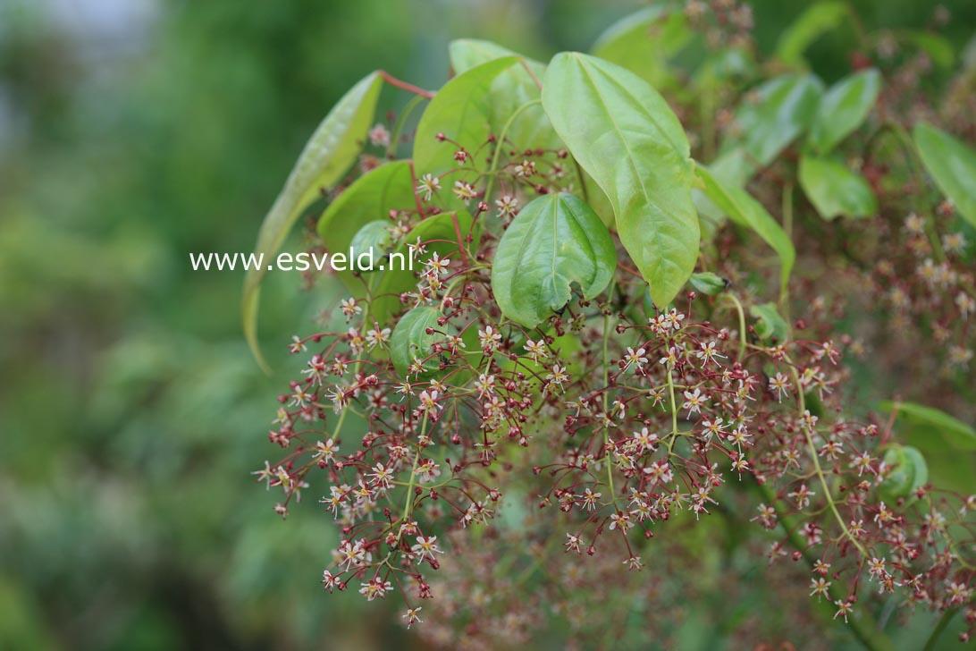 Acer calcaratum