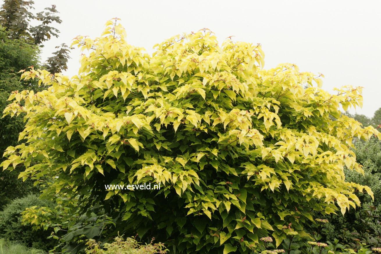 Acer capillipes 'Honeydew'