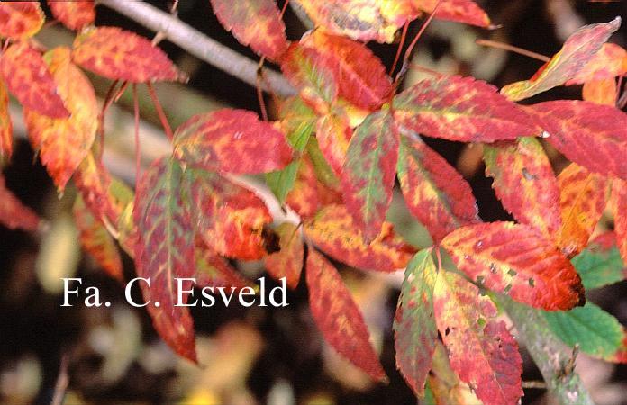 Acer mandshuricum