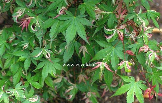Acer palmatum 'Asahi-zuru'