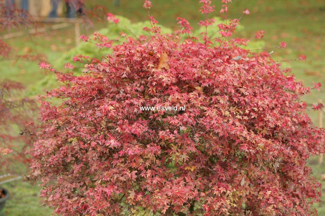 Acer palmatum 'Beni-hime'