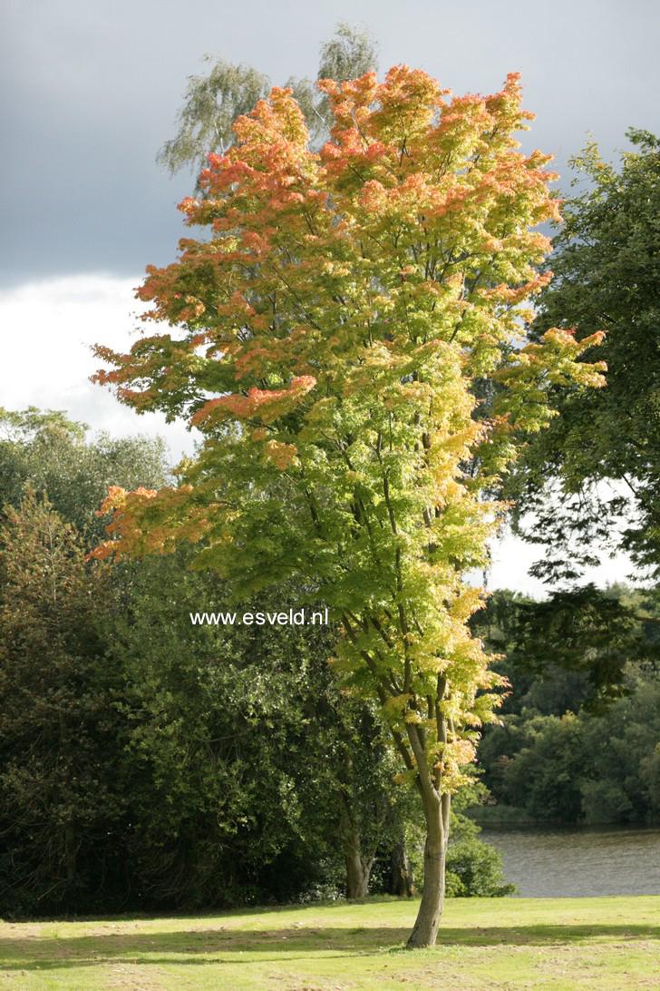 Acer palmatum 'Eddisbury'
