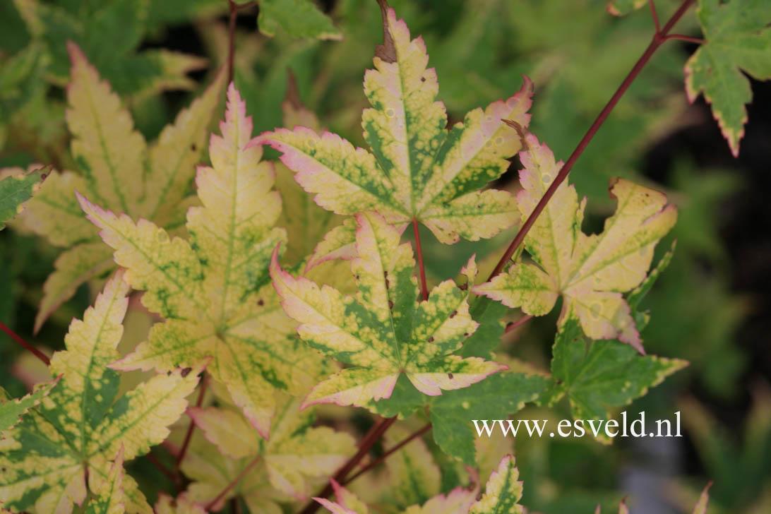 Acer palmatum 'Nishiki-gasane'