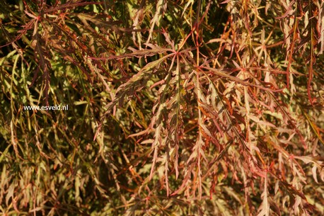 Acer palmatum 'Otto's Dissectum'