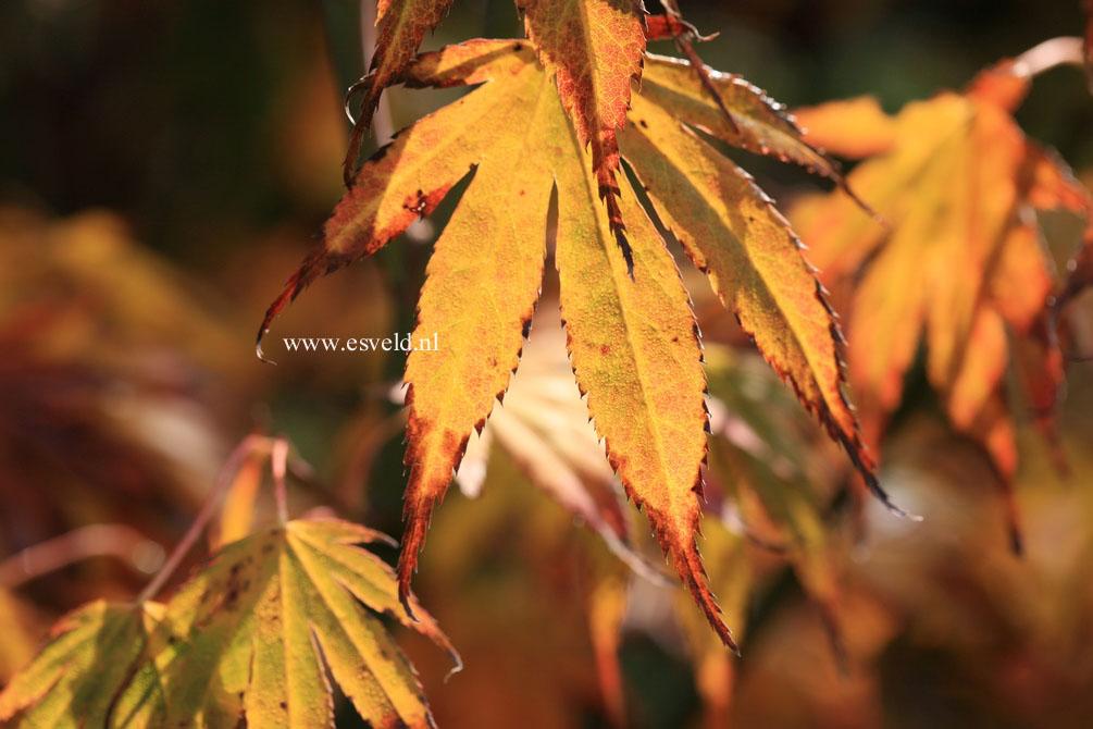 Acer palmatum 'Shikage-ori-nishiki'