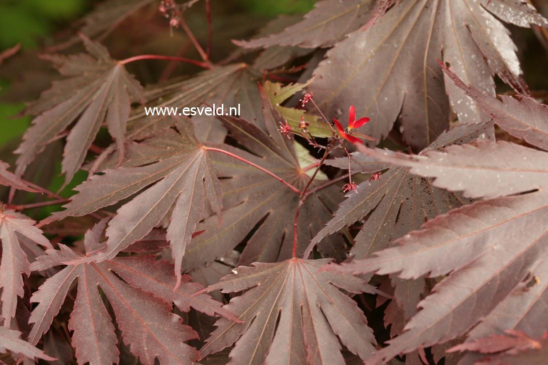 Acer shirasawanum 'Yasemin'