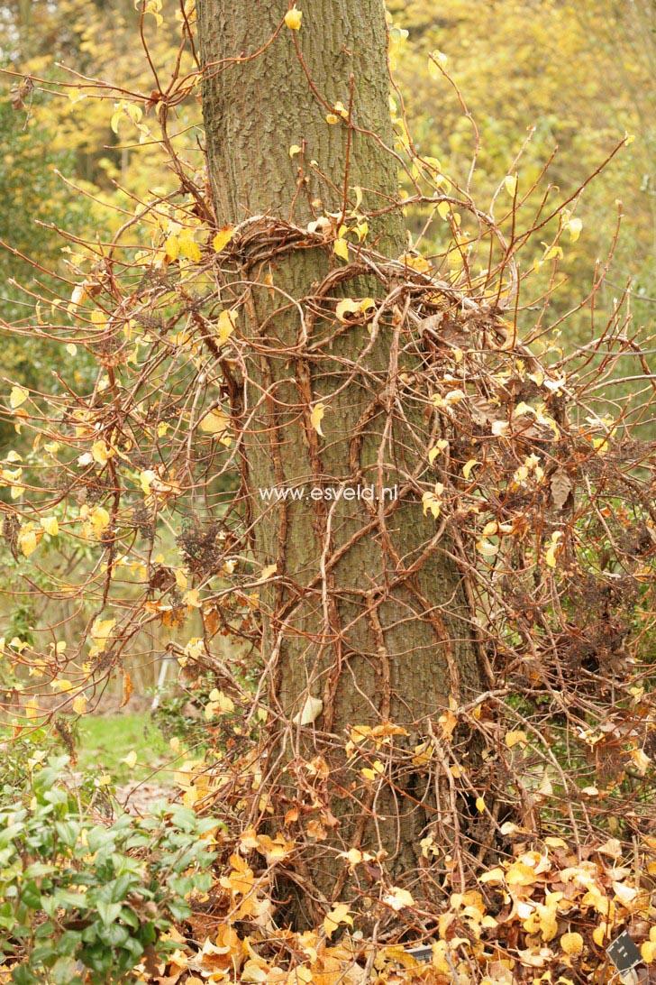 Hydrangea anomala 'Tiliifolia'