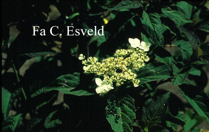 Hydrangea heteromalla 'Snowcap'