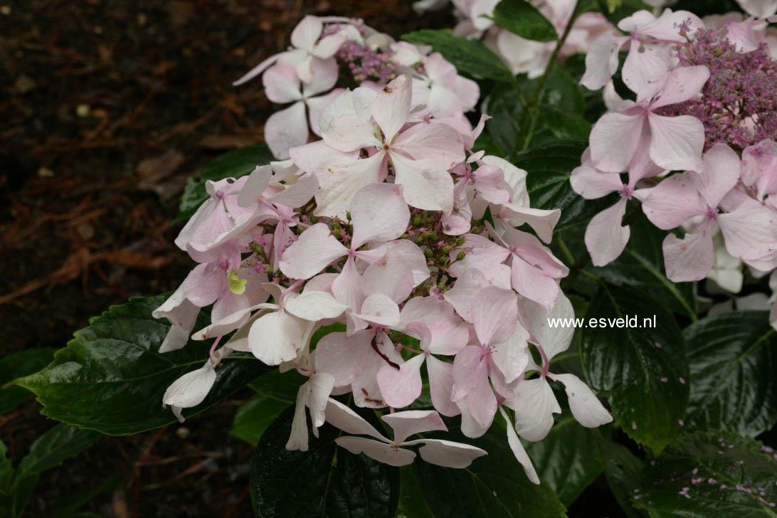 Hydrangea macrophylla 'Beaute Vendomoise'