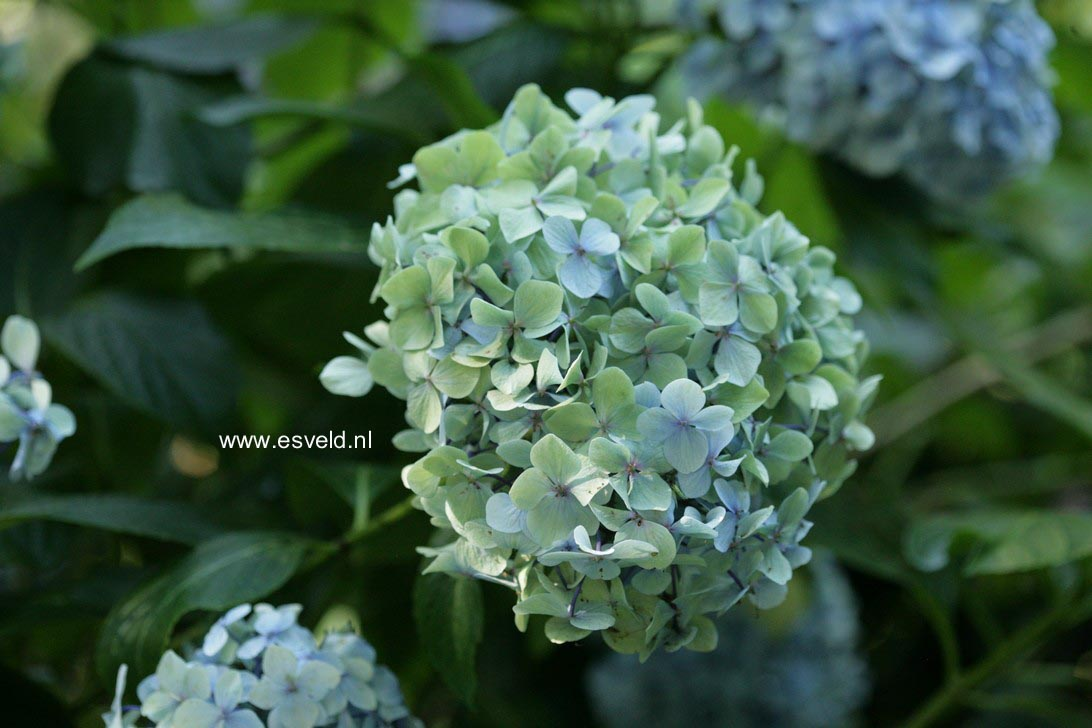 Hydrangea macrophylla 'Joseph Banks'