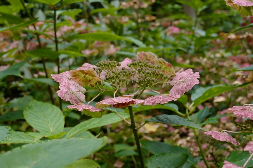 Hydrangea macrophylla 'Klaveren'
