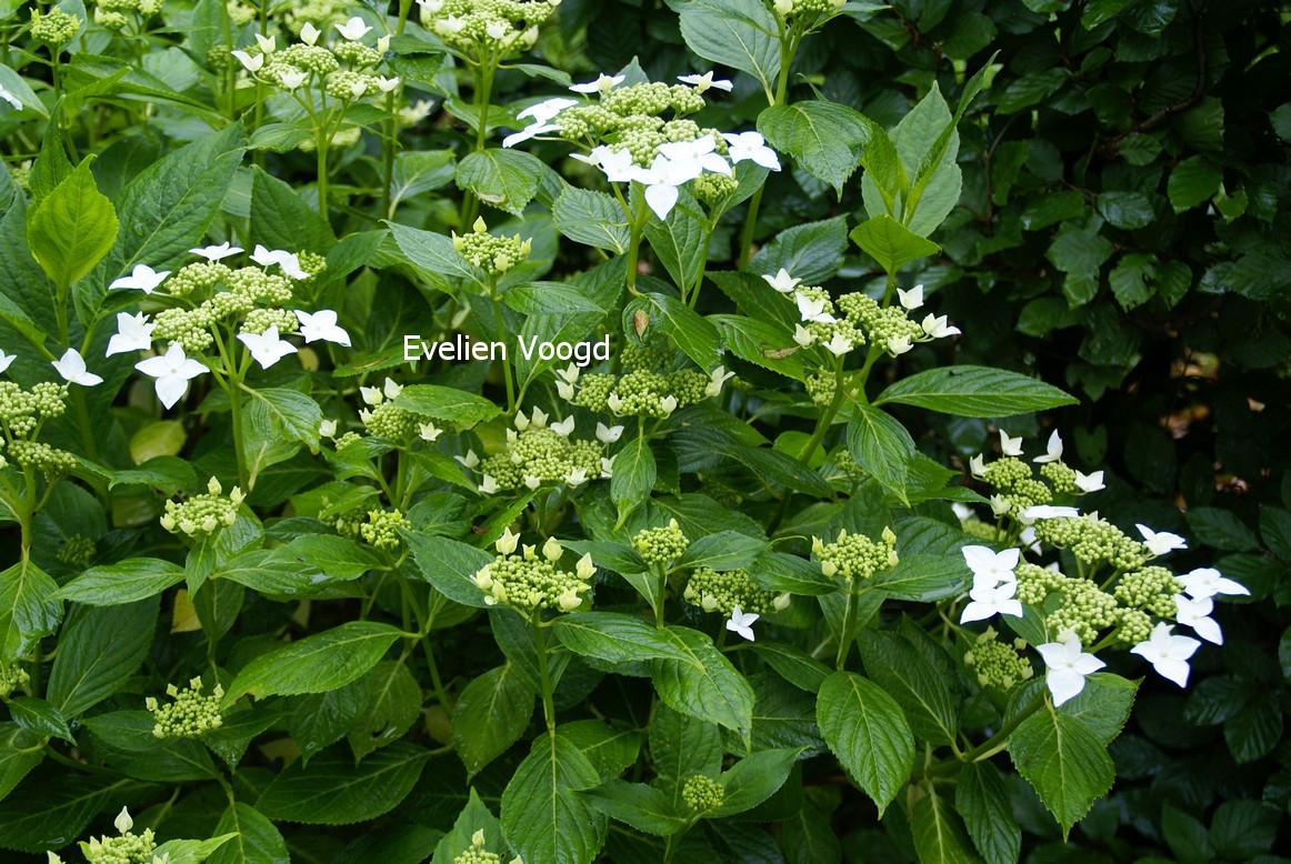 Hydrangea macrophylla 'Lanarth White'