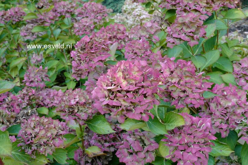 Hydrangea macrophylla 'Mathilde Guetges'