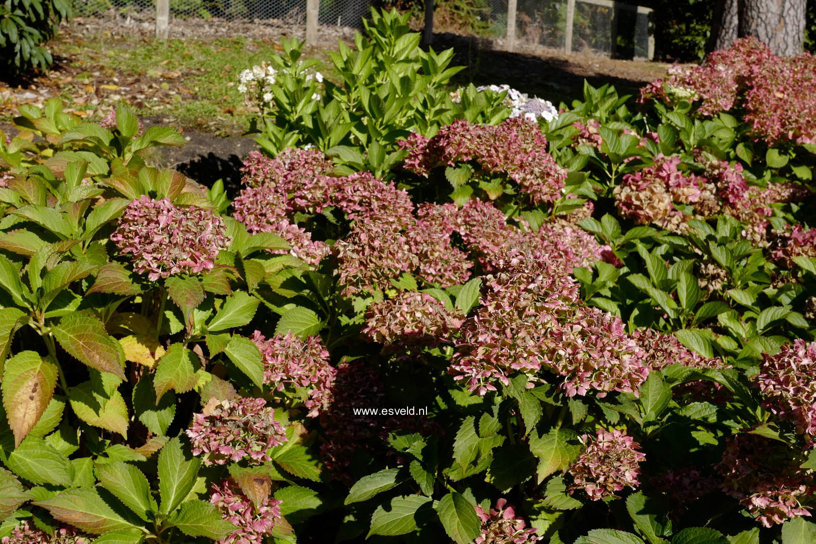 Hydrangea macrophylla 'Nymphe' ('Pax')