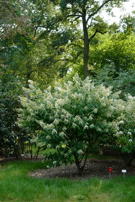 Hydrangea paniculata 'Brussel's Lace'