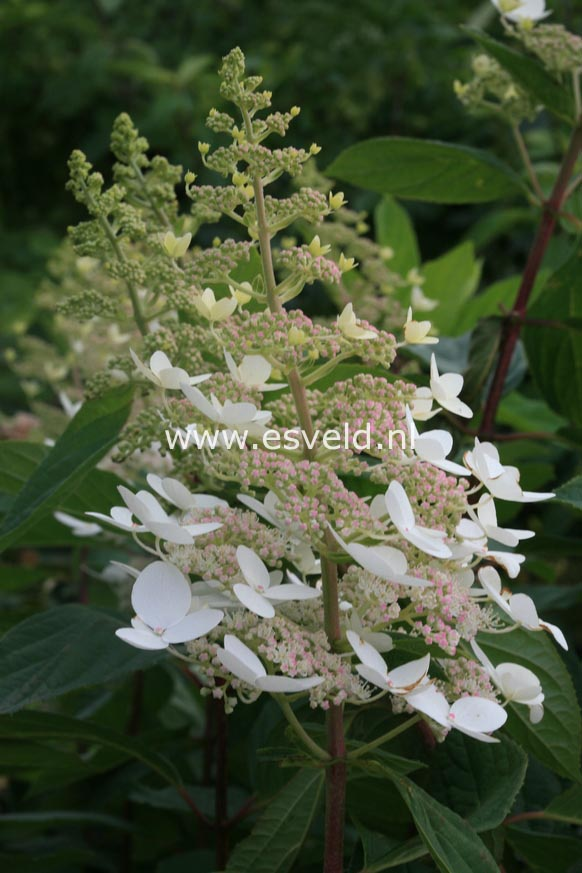 Hydrangea paniculata 'Interhydia' (PINK DIAMOND)