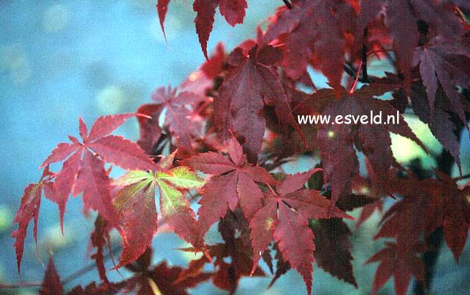 Acer palmatum 'Paul's Variegated'