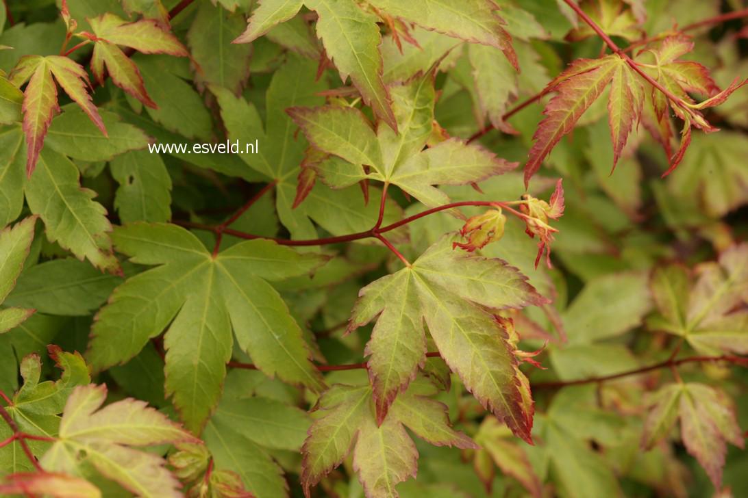 Acer palmatum 'Kiyo-hime'