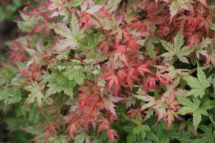 Acer palmatum 'Marakumo' (Hort. non Japan)