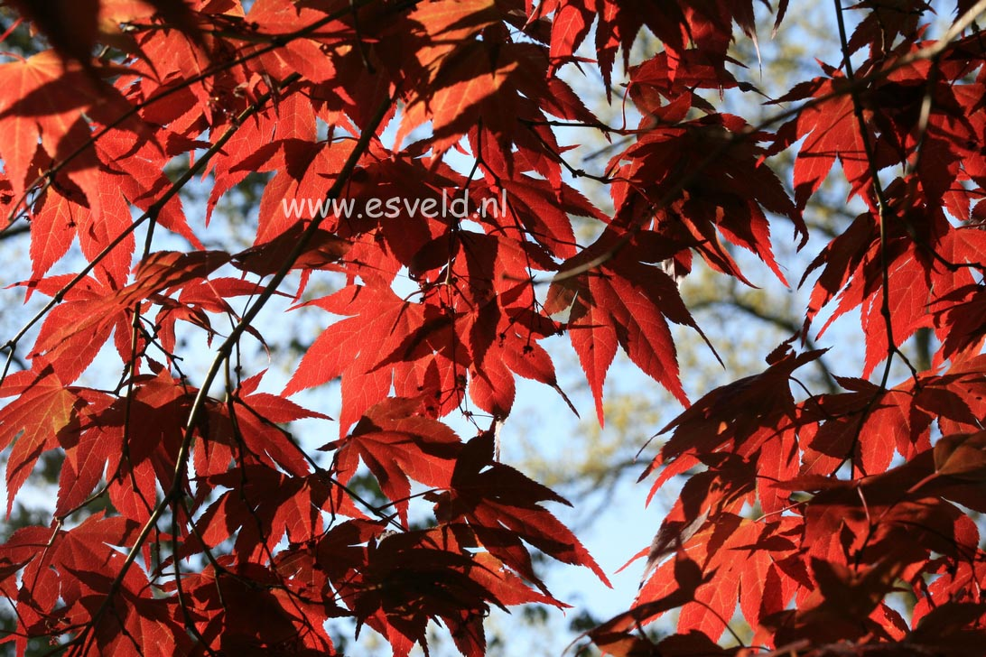 Acer palmatum 'Rubrum'