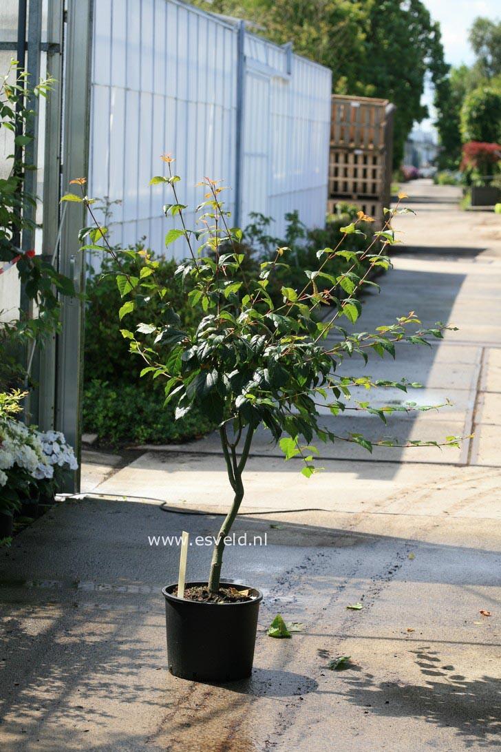 Acer pectinatum 'Sirene'