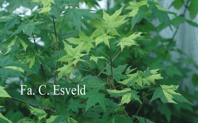 Acer pictum